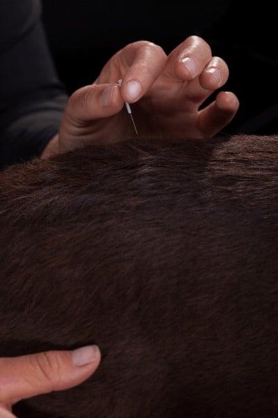 akupunktur behandling til hunde