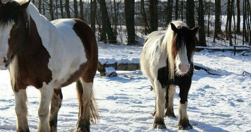 Hvorfor overvægt hos din hest er skadeligt, og hvad du stiller op med alle de ekstra kilo på hesten
